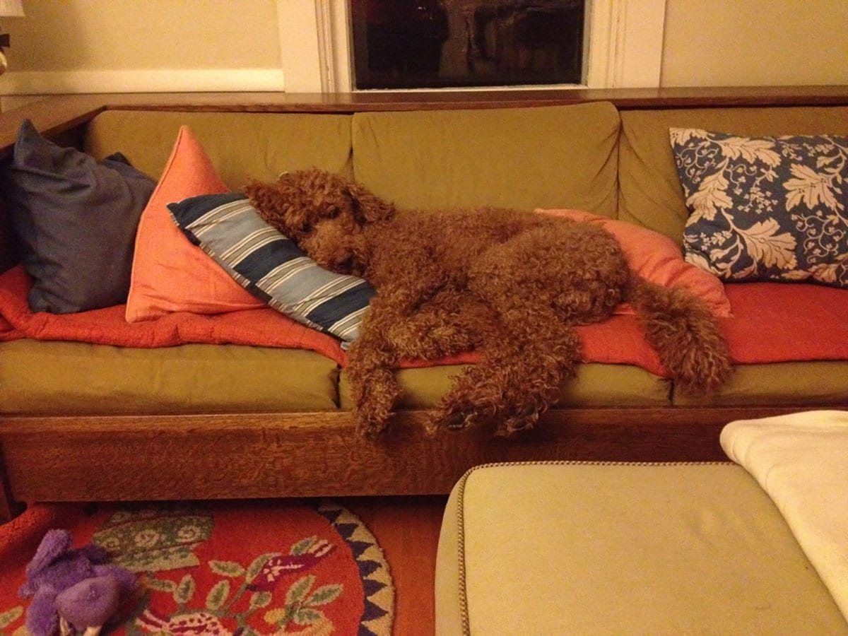 Willing Inspirations - Ollie the Standard Poodle